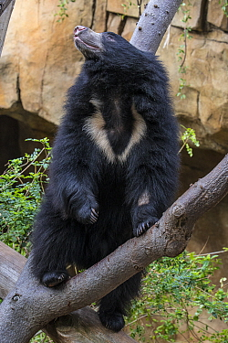 Sloth Bear (Melursus ursinus) in tree, San Diego Zoo, California