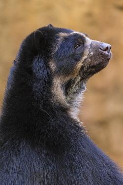 Spectacled Bear (Tremarctos ornatus), San Diego Zoo, California