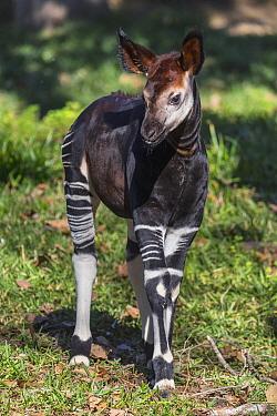 Okapi (Okapia johnstoni) calf, native to Africa
