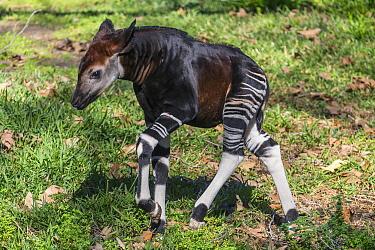 Okapi (Okapia johnstoni) calf walking, native to Africa