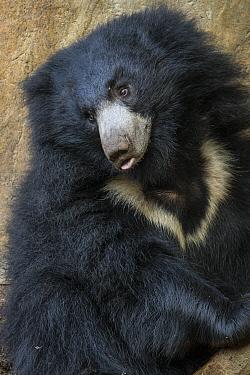 Sloth Bear (Melursus ursinus), San Diego Zoo, California