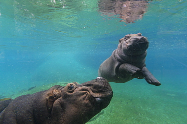 East African River Hippopotamus (Hippopotamus amphibius kiboko) mother pushing up calf to surface, San Diego Zoo, California