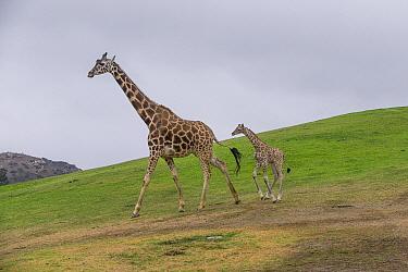 Rothschild Giraffe (Giraffa camelopardalis rothschildi) calf with mother, San Diego Zoo Safari Park, California