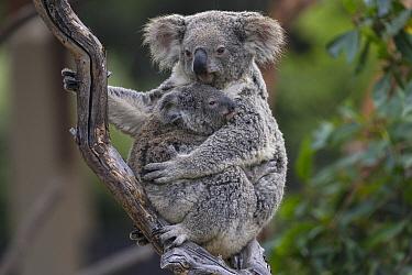 Queensland Koala (Phascolarctos cinereus adustus) mother with joey, San Diego Zoo, California