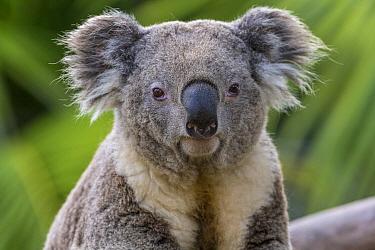 Queensland Koala (Phascolarctos cinereus adustus) male, San Diego Zoo, California