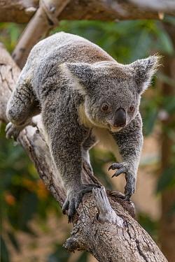 Queensland Koala (Phascolarctos cinereus adustus) female climbing, San Diego Zoo, California