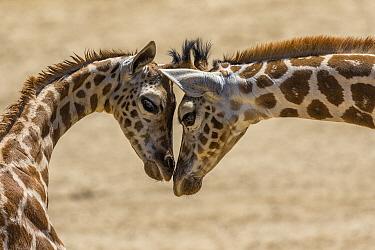 Rothschild Giraffe (Giraffa camelopardalis rothschildi) calves nuzzling, San Diego Zoo Safari Park, California