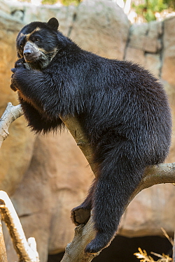 Spectacled Bear (Tremarctos ornatus) in tree, San Diego Zoo, California