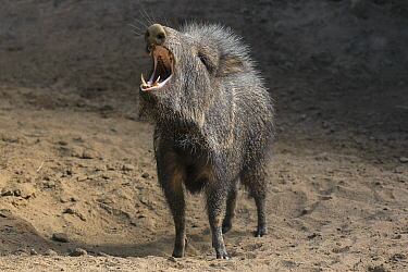 Chacoan Peccary (Catagonus wagneri) in defensive posture, native to Americas