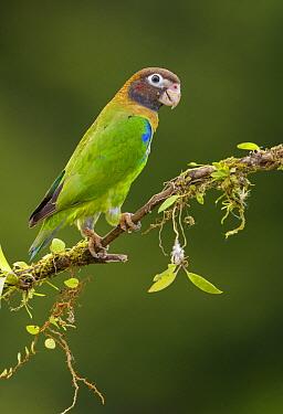 Brown-hooded Parrot (Pyrilia haematotis), Costa Rica