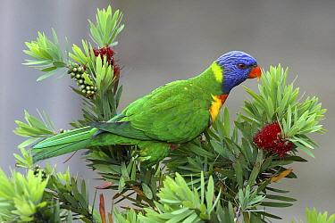 Rainbow Lorikeet (Trichoglossus haematodus), Australia