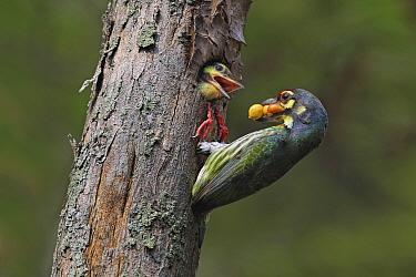 Coppersmith Barbet (Megalaima haemacephala) parent feeding chick in nest cavity, Malaysia