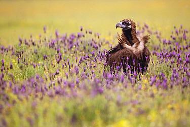 Eurasian Black Vulture (Aegypius monachus), Spain