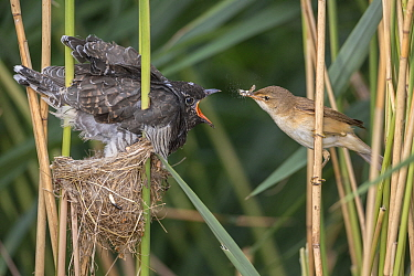 Eurasian Reed-Warbler (Acrocephalus scirpaceus) feeding parasitic Common Cuckoo (Cuculus canorus) chick in nest, Saxony-Anhalt, Germany