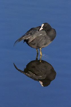 Coot (Fulica atra) stretching wings, Germany