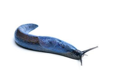 Carpathian Blue Slug (Bielzia coerulans), Slovakia