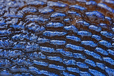 Carpathian Blue Slug (Bielzia coerulans) skin, Slovakia
