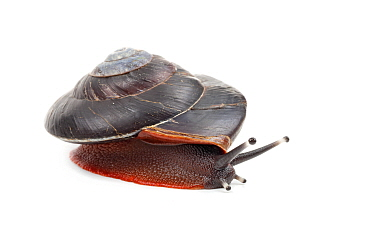 Land Snail (Caracolus excellens), Dominican Republic