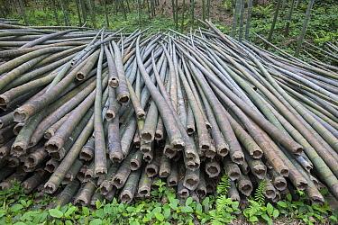 Moso Bamboo (Phyllostachys heterocycla) cut for various uses, Shunan Zhuhai National Park, Sichuan, China
