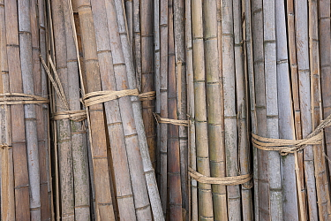 Moso Bamboo (Phyllostachys heterocycla) sorted for transport, Shunan Zhuhai National Park, Sichuan, China