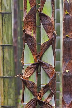 Moso Bamboo (Phyllostachys heterocycla) stems peeling, Shunan Zhuhai National Park, Sichuan, China