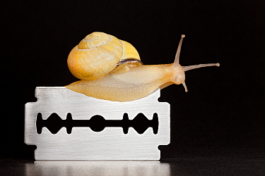 Brown Lipped Snail (Cepaea nemoralis) crawling over razor blade, protected by its mucus, Germany