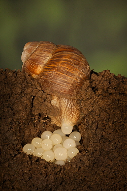 Edible Snail (Helix pomatia) laying eggs, Germany