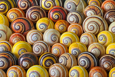 Land Snail (Polymita picta) group for sale, Cuba