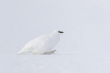 Rock Ptarmigan (Lagopus muta) in winter, Svalbard, Spitsbergen, Norway