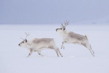 Svalbard Reindeer (Rangifer tarandus platyrhynchus) males running and jumping in snow, Svalbard, Spitsbergen, Norway