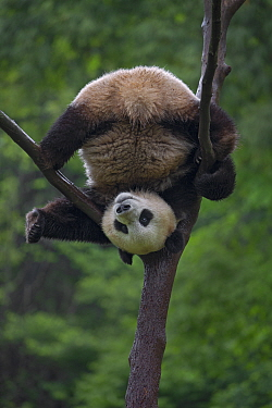Giant Panda (Ailuropoda melanoleuca) playing in tree, China