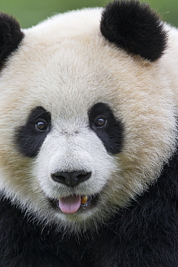 Giant Panda (Ailuropoda melanoleuca) juvenile, China