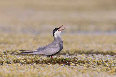 Whiskered Tern (Chlidonias hybrida) calling on newly built nest, Danube Delta, Romania