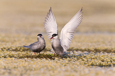 Whiskered Tern (Chlidonias hybrida) pair courting on newly built nest, Danube Delta, Romania