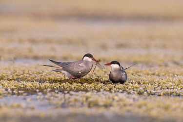Whiskered Tern (Chlidonias hybrida) male passing dragonfly to female during courtship, Danube Delta, Romania