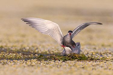 Whiskered Tern (Chlidonias hybrida) pair mating on newly built nest, Danube Delta, Romania
