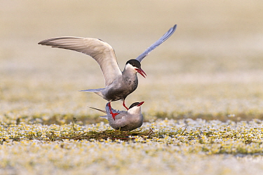 Whiskered Tern (Chlidonias hybrida) pair mating on newly built nest, Danube Delta, Romania