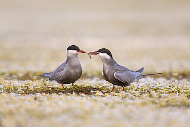Whiskered Tern (Chlidonias hybrida) male passing mayfly to female during courtship, Danube Delta, Romania