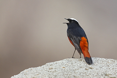 White-capped Water-Redstart (Chaimarrornis leucocephalus) male calling, Tangjiahe National Nature Reserve, Sichuan, China