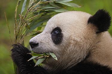 Giant Panda (Ailuropoda melanoleuca) feeding on bamboo, China