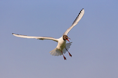 Black-headed Gull (Chroicocephalus ridibundus) flying and calling, Danube Delta, Romania