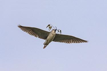 Black-crowned Night Heron (Nycticorax nycticorax) carrying nesting material, Chengdu, China