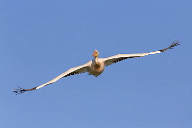 Great White Pelican (Pelecanus onocrotalus) flying, Danube Delta, Romania