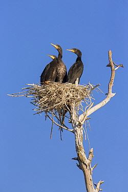 Great Cormorant (phalacrocorax carbo) chicks in nest, Danube Delta, Romania