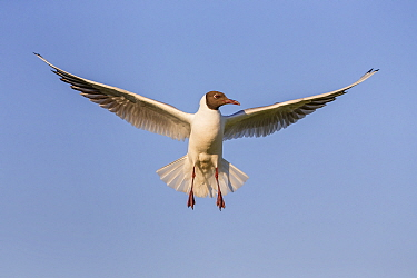Black-headed Gull (Chroicocephalus ridibundus) flying, Danube Delta, Romania