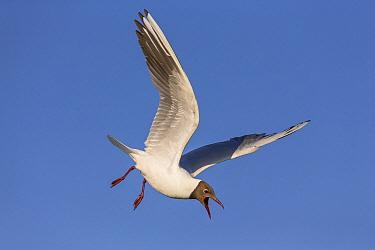 Black-headed Gull (Chroicocephalus ridibundus) flying and calling, Danube Delta, Romania