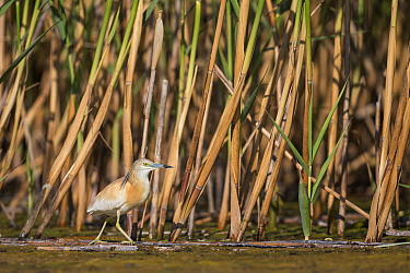 Squacco Heron (Ardeola ralloides) wading in wetland, Danube Delta, Romania