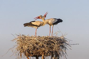 White Stork (Ciconia ciconia) pair courting at nest, Danube Delta, Romania