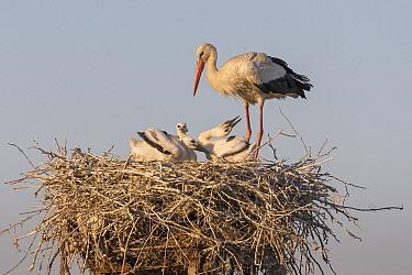 White Stork (Ciconia ciconia) parent with chicks on nest, Danube Delta, Romania