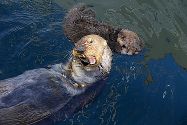 Sea Otter (Enhydra lutris) mother feeding on mussel and six day old newborn pup, Monterey Bay, California